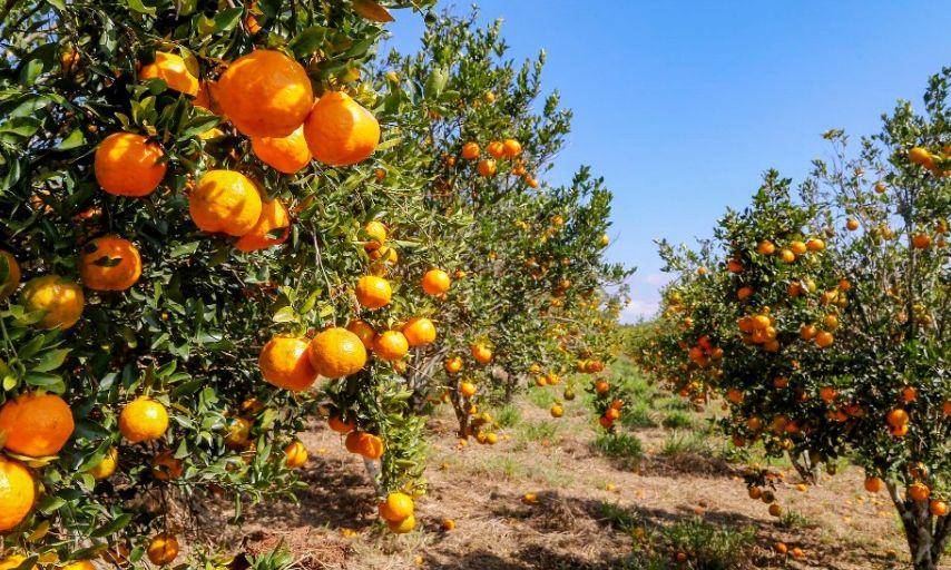 Condições climáticas afetam frutas de diferentes formas, analisa boletim agropecuário