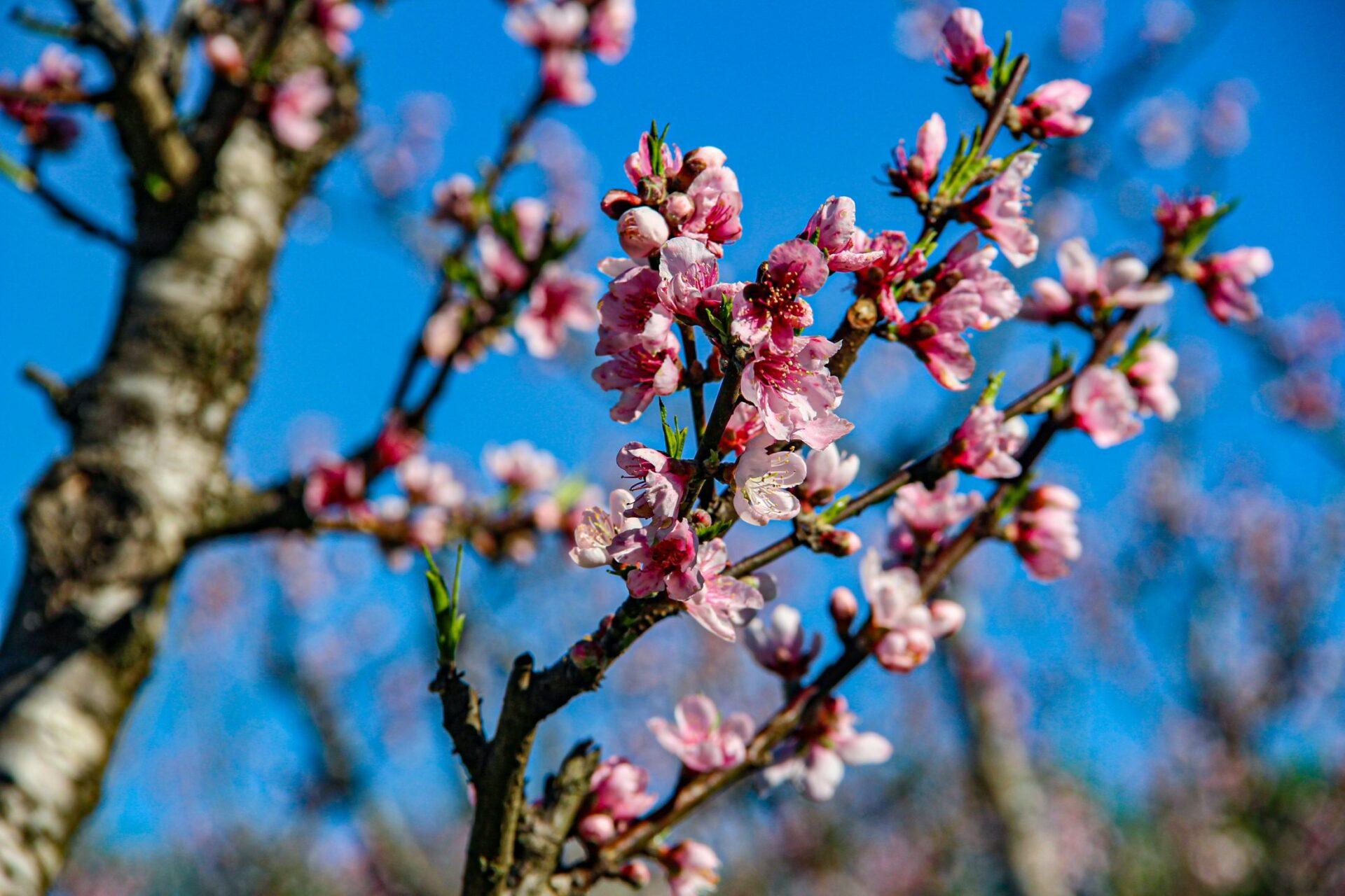 Florada dos pessegueiros anima produtores iratienses